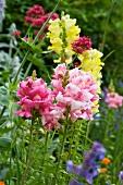 Snapdragons flowering in garden