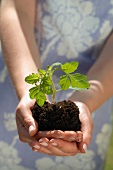 Seedling and soil held in cupped hands