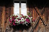 Petunias in window box of old farm house