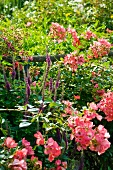 Salmon pink roses (Douceur Normande) and gamander (Teucrium hircanicum) in garden