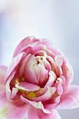 Pink tulip (close-up)