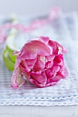 Pink tulip on blue gingham cloth