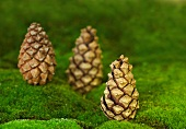 Three fir cones stood on end on carpet of moss