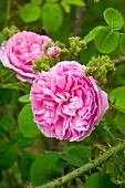 Pink rose flowering in garden (variety: 'Chapeau de Napoleon')
