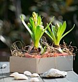 Budding hyacinths in cardboard box on table outside