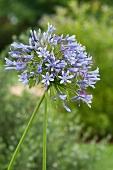Flowering agapanthus