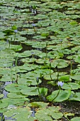 Flowering water lilies in pond