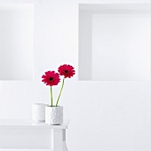 Hot pink gerbera daisies in white vase on table against white wall