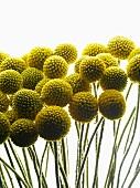 Yellow, spherical seed heads on slim stems