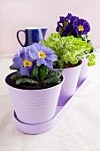 Primroses and oregano (Origanum vulgare) in metal pots