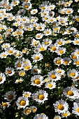 Ox-eye daisies in garden (full picture)