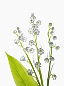 Flowering sprigs and leaf of lily of the valley