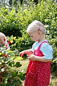 Little blond girl picking red currants from a bush