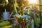 Rhabarber und Giesskanne im Garten