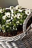 weiße Stiefmütterchen in Weidenkorb eingepflanzt