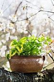Herbs growing in ceramic pot