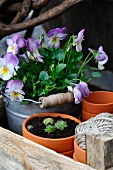 Terracotta pots, violas, sempervivums and garden twine in wooden crate