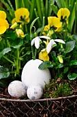 Chicken egg and violas
