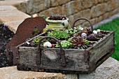 Old wooden bottle crate planted with sempervivums and alpines