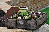 Alte Holzbierkiste mit Sempervivum und Steingewächsen
