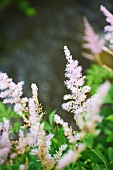 Violet Colored Astilbe Flowers in Garden