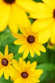 Black-Eyed Susans in a Garden; Close Up