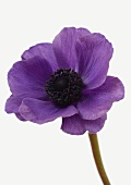 One violet anemone