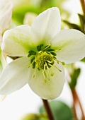 White hellebore flower, close-up