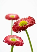 Pink daisies, close-up