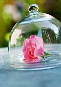 Rose under glass dome