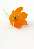 Orange chinkerinchee (ornithogalum dubium)