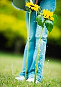 Person watering sunflowers