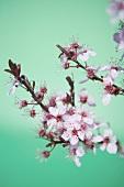 Cherry tree branch in blossom