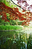 Japanese maple foliage and lily pond