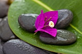 Bougainvillea flower on dark, wet pebbles