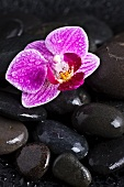 Orchid flower on wet pebbles