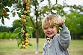 A blond boy picking mirabelles