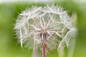 Dandelion seed head (Taraxacum)