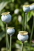 Several poppy seed heads (Papaver) in garden