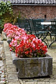 Flowering Wax begonias (Begonia semperflorens) in stone troughs