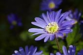 Flowering anemone (Anemone blanda 'Blue Shades')