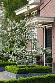 Blühender Apfelbaum im Vorgarten eines Wohnhauses