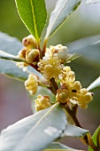 Flowering Bay laurel (Laurus nobilis)