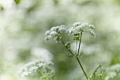 Flowering cow parsley (Anthriscus sylvestris)