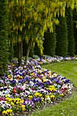 Bed of pansies and laburnum in gardens