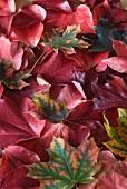 Autumnal leaves (macro zoom)