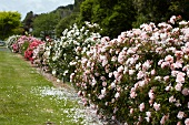 Flowering rose bushes in gardens