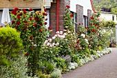 Flowering rose bushes in front garden of house