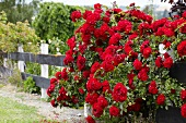 Red shrub roses growing next to garden fence