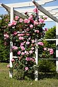 Flowering climbing rose on wooden pergola